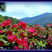 Flowers in the Blueridge