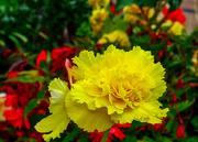 1st Sep 2020 - Yellow Begonia.