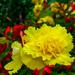 Yellow Begonia. by tonygig