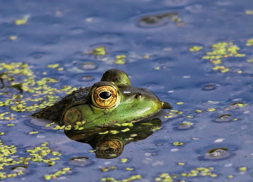 Frog Eye by lynnz