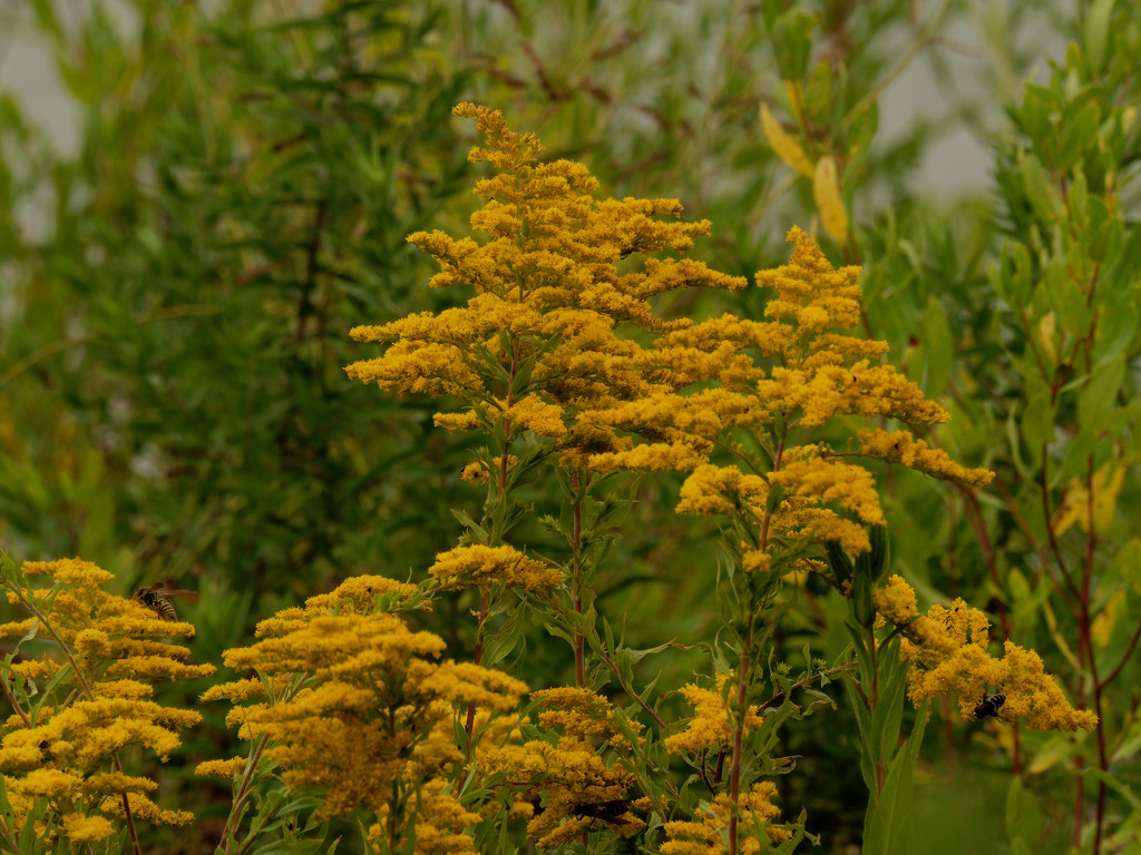 goldenrod by rminer