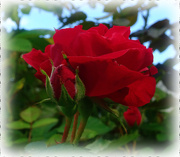 2nd Sep 2020 - The last Rose of Summer...