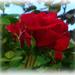 The last Rose of Summer... by gijsje