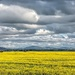 Canola fields and storm clouds by ludwigsdiana
