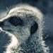 Taronga - meercat