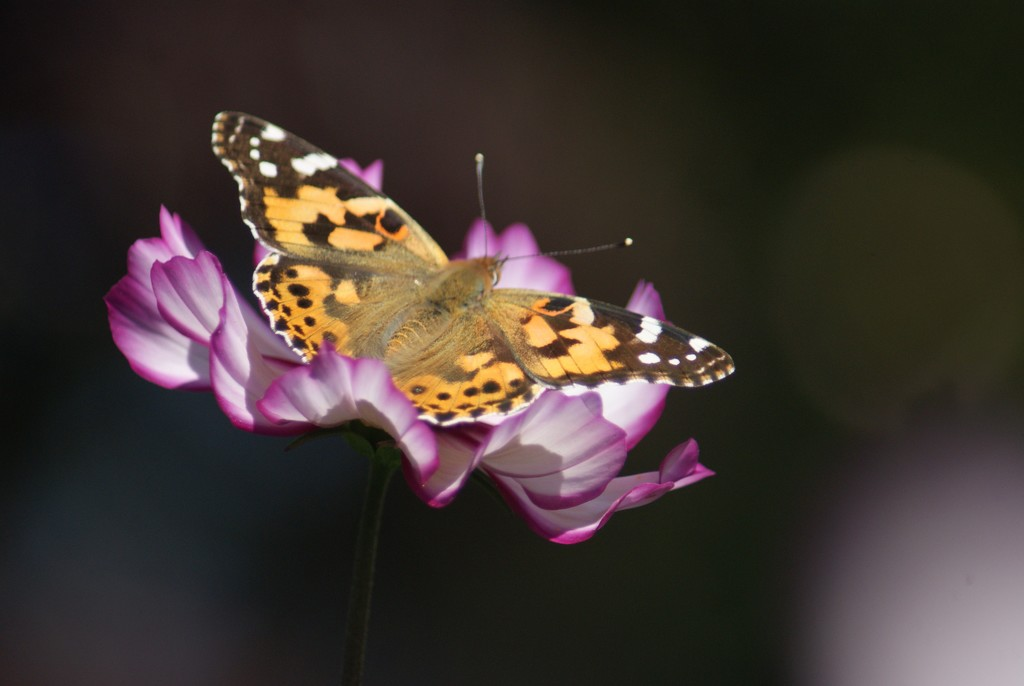 Painted Lady on Cosmos by 365projectmaxine