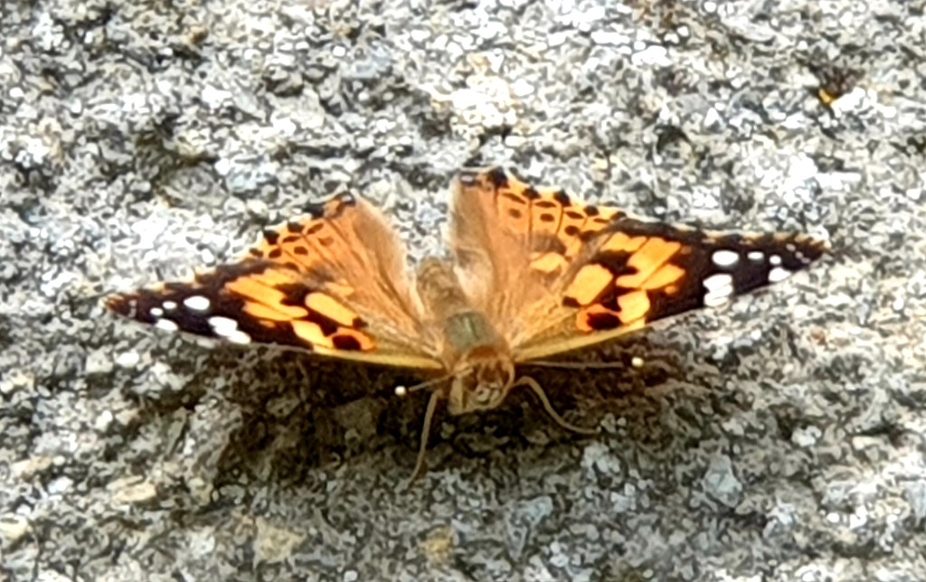 Painted Lady by julienne1