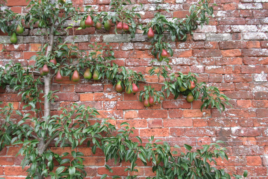 wonderful cordoned pears by anniesue