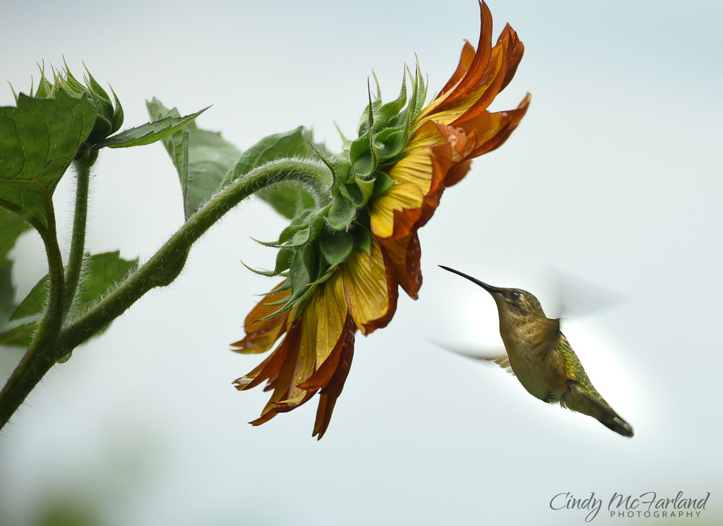 Hummer Meets the Big Sunflower by cindymc