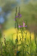 1st Sep 2020 - Obedient Plant