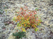 31st Aug 2020 - A reindeer moss clearing
