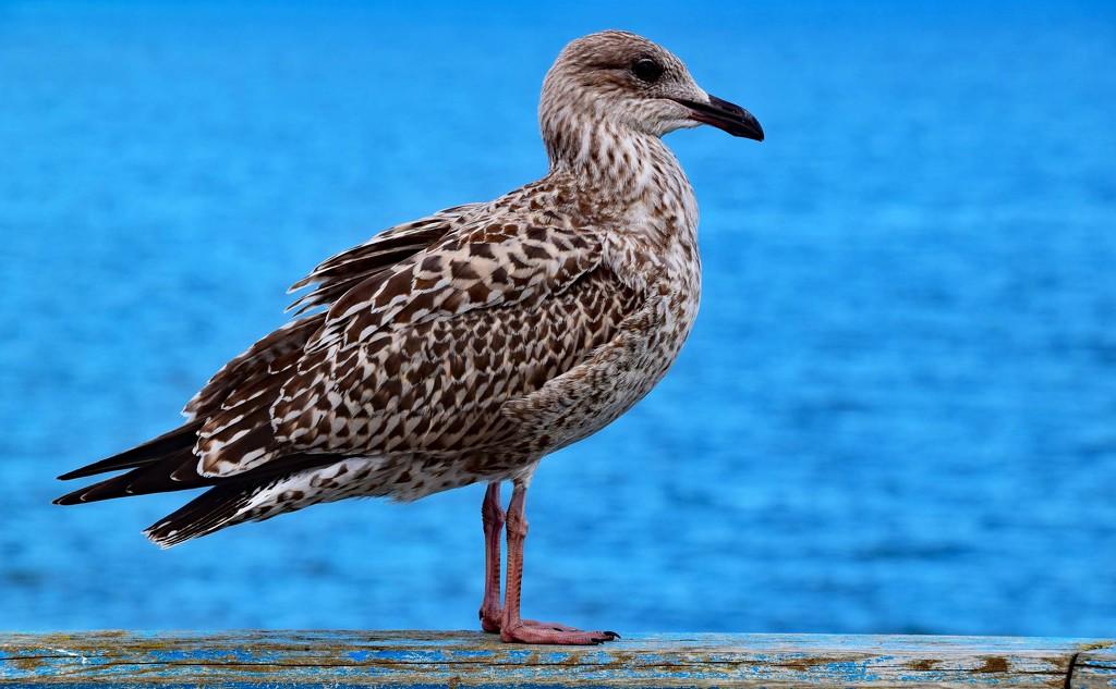 sea gull by ianmetcalfe