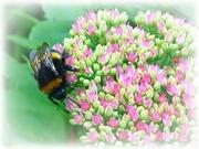 3rd Sep 2020 - bumble bee on sedum