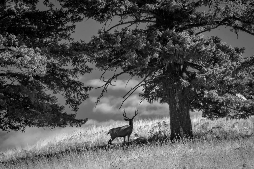 Buck on the Hillside by 365karly1
