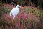 2nd Sep 2020 - Great Egret and flowers