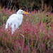 Great Egret and flowers by nicoleweg