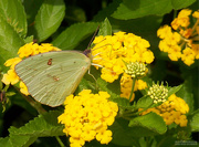 3rd Sep 2020 - Clouded Sulphur (Colias philodice) Female