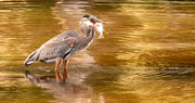 2nd Sep 2020 - Blue Heron With a Mouthfull!