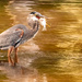 Blue Heron With a Mouthfull! by rickster549