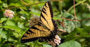2nd Sep 2020 - Eastern Tiger Swallowtail Butterfly!