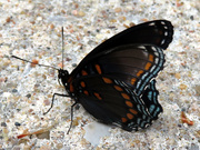 29th Aug 2020 - Red-spotted Purple