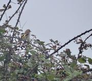 3rd Sep 2020 - Juvenile Goldfinch