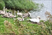 3rd Sep 2020 - The swan family