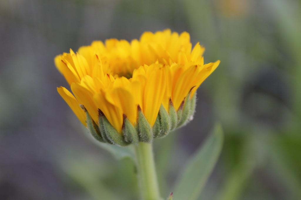 Blooming Calendula by themusketeers