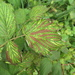 corduroy leaves