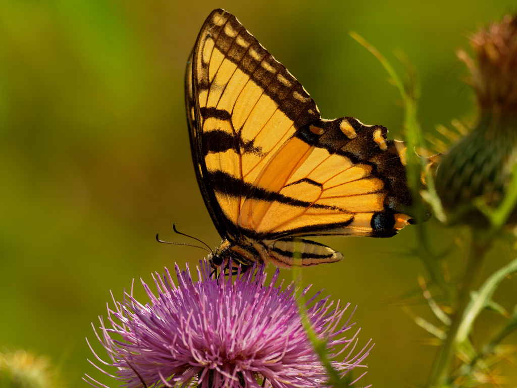 tiger swallowtail by rminer