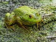 3rd Sep 2020 - bullfrog