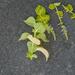 Flowering coleus