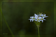 2nd Sep 2020 - More Wild Onions
