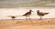 3rd Sep 2020 - Birds on the Beach!
