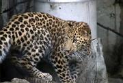 3rd Sep 2020 - Sasha The Leopard Cub