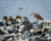 3rd Sep 2020 - Mr. Whimbrel