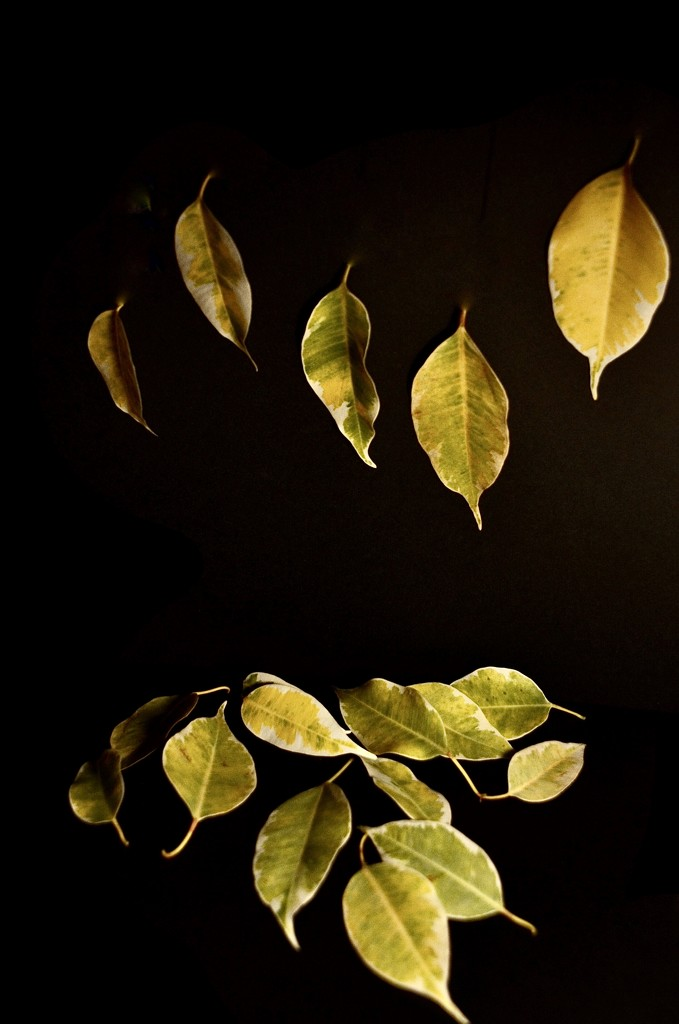 Falling Ficus leaves by wakelys