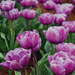 Blooming Tulips by kgolab
