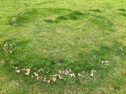 4th Sep 2020 - Fairy ring