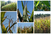 2nd Sep 2020 - Corn Collage