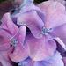 Hydrangea Florets by wendyfrost
