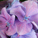 Hydrangea Florets