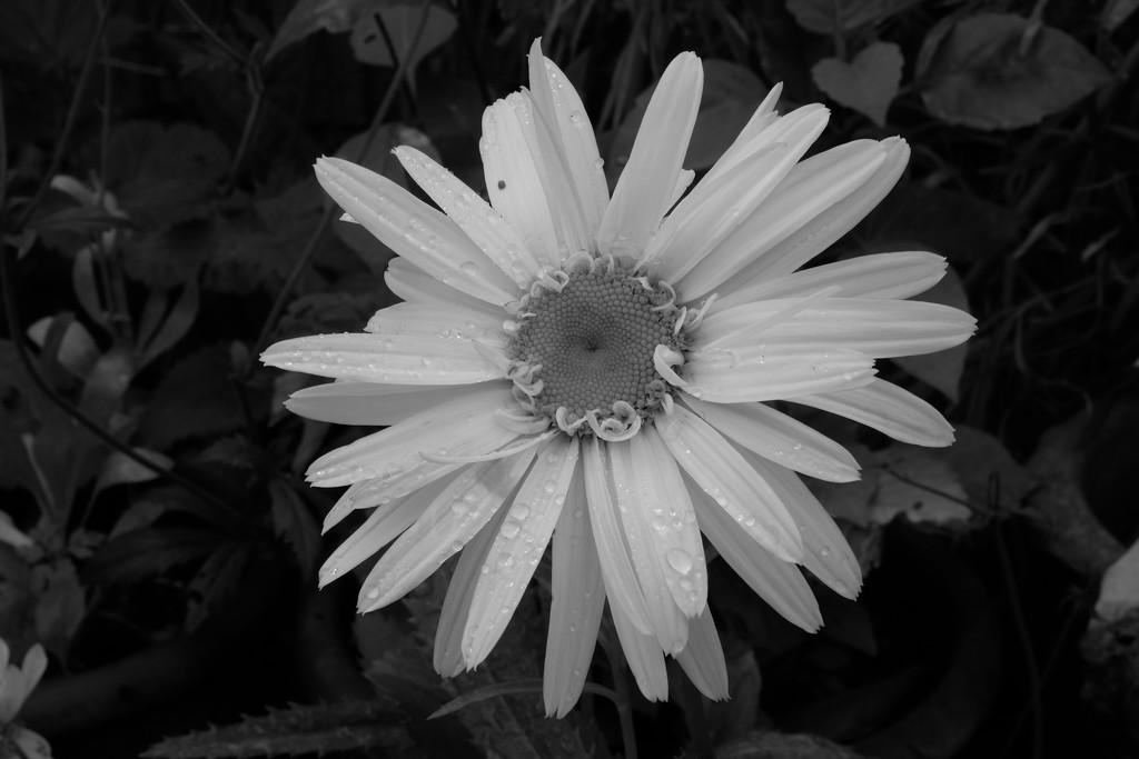 Leucanthemum by francesc