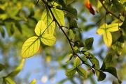 4th Sep 2020 - See through leaves