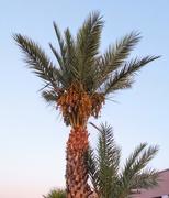 4th Sep 2020 - Date Palm