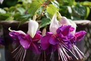 4th Sep 2020 - ballerina fuchsias in my favourite colour