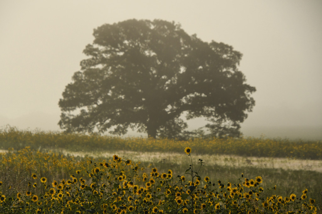 The Fog, That Tree, Those Sunflowers by kareenking