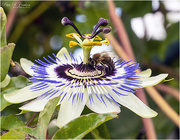 4th Sep 2020 - Passion Flower