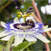 Passion Flower by pcoulson