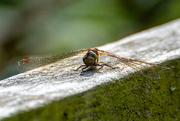 4th Sep 2020 - Dragonfly